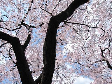どこ見ても桜ですよ~!(笑)