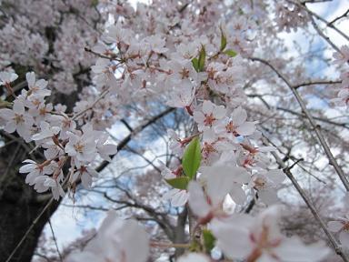 しだれ桜もありました!