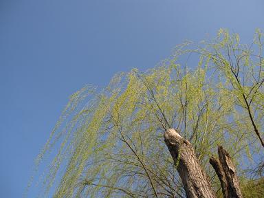 柳の新芽がゆらゆら♪