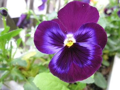 くっきり紫ちゃん