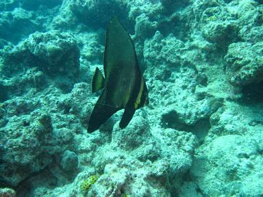 アカククリの幼魚。
