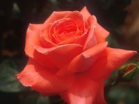 Flower1-003.jpg