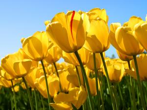 Tulips_convert_20120226233811.jpg