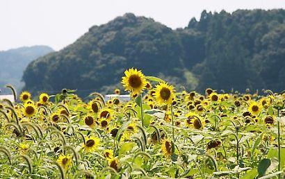 掛川市ヒマワリ畑-2