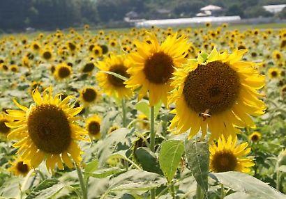 掛川市ヒマワリ畑-4