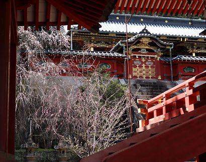 静岡浅間神社内の桜-5
