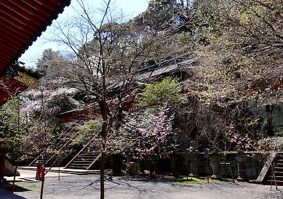 静岡浅間神社内の桜-3
