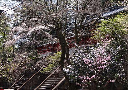 静岡浅間神社内の桜-4