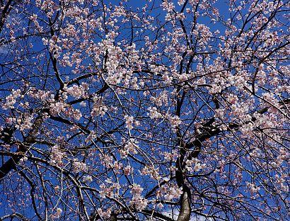 枝垂桜咲く城北公園-5
