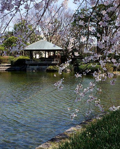 枝垂桜咲く城北公園-4