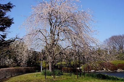 枝垂桜咲く城北公園-2
