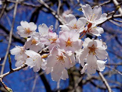 枝垂桜咲く城北公園-6