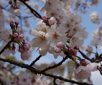 桜咲く駿府城公園-6