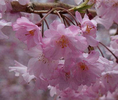 油山の枝垂桜-3