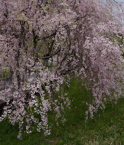 油山の枝垂桜-2