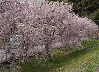 油山の枝垂桜-1