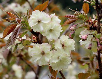 増善寺の鬱金桜-1