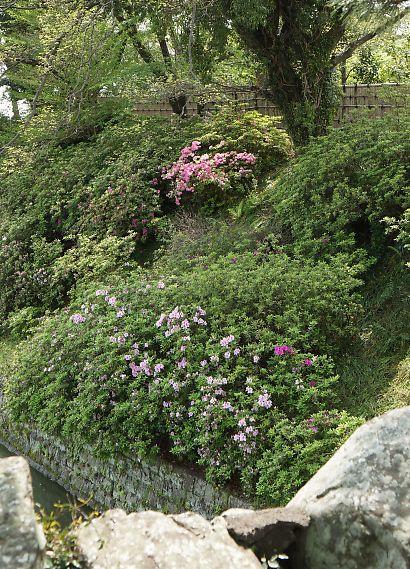 駿府城公園サツキ-4