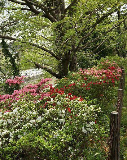 駿府城公園サツキ-1