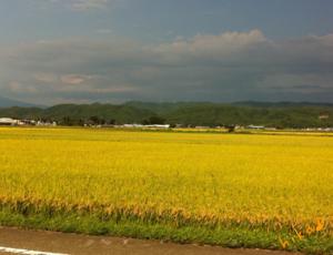 黄金の平野♪