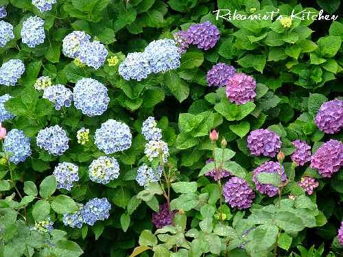 DSCF6・7紫陽花