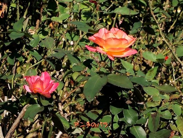640PA299105アンネのバラ
