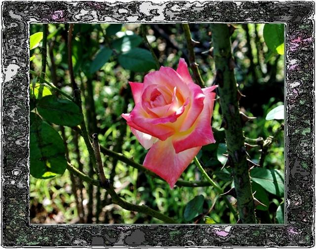64057○125薔薇