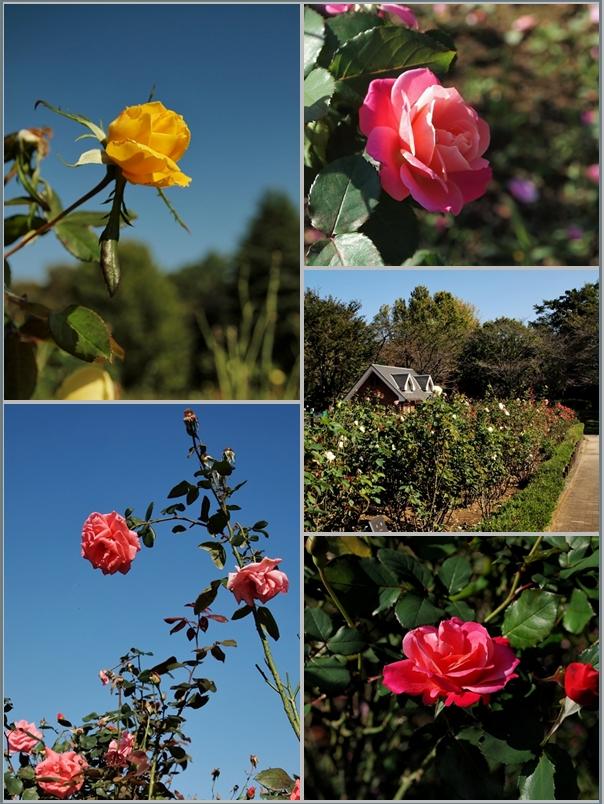 薔薇与野公園1