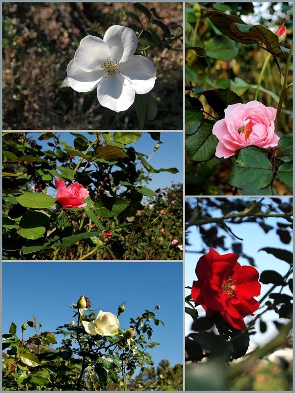 与野公園薔薇2