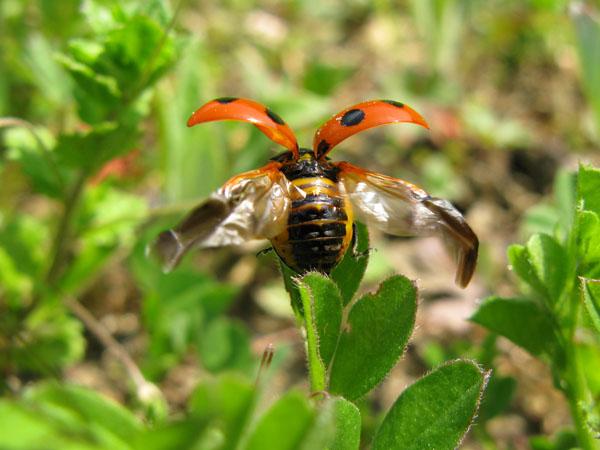 ナナホシテントウの飛翔