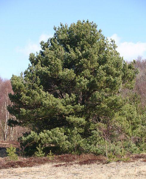 489px-Pinus-sylvestris-phenotype_3.jpg