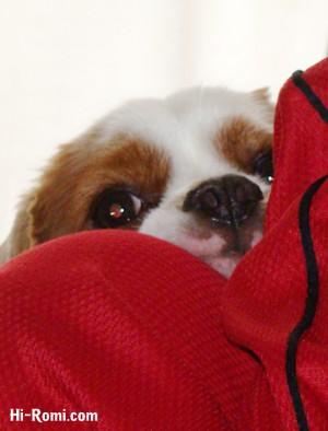 こっそりのぞく看板犬キャバリアのココちゃん。