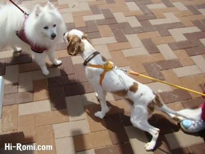 看板犬キャバリアのcocoちゃん、スピッツに出会う。