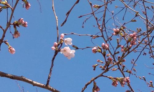 桜咲いてます♪