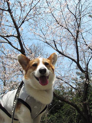 桜とろんたん☆