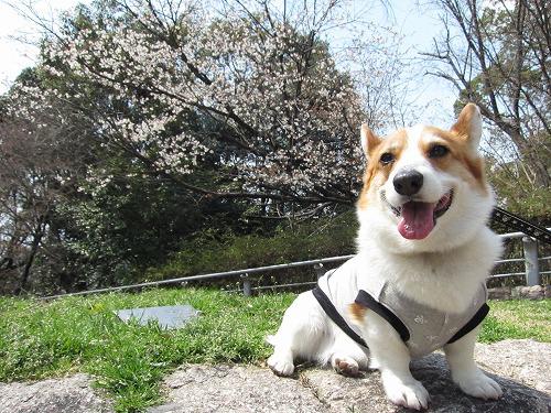 桜とろんたん2