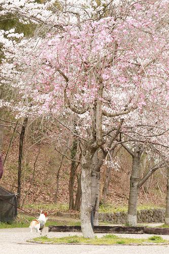 残念な桜とろんたん