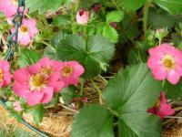 2012イチゴの花