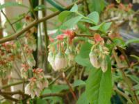 2012ブルーベリーの花