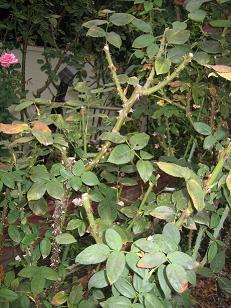 剪定したバラの枝