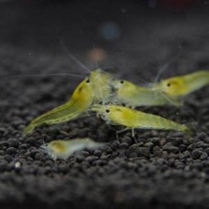 黄色いエビ