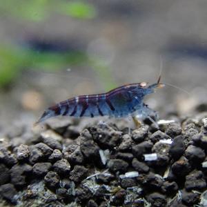 shrimp-da-kubu01.jpg