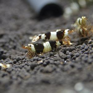 shrimp-midorukuro01.jpg