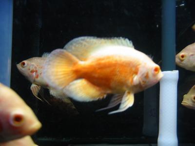 アルビノオスカー黄変個体