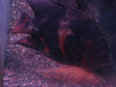 2011.1.13産卵 (5)