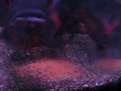 2011.1.13産卵
