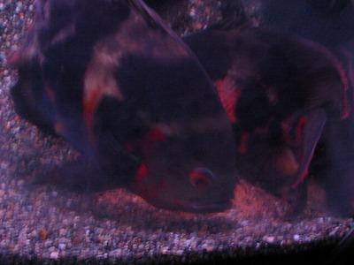 2011.1.13産卵 (11)
