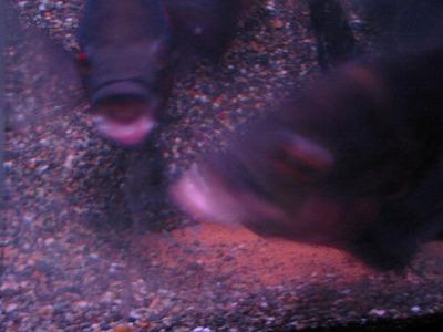 2011.1.13産卵 (9)