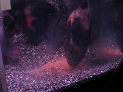 2011.1.13産卵 (22)