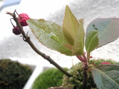 苔玉(ヤブコウジ)の新芽と若葉と蕾